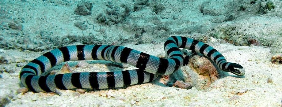 cobras marinhas