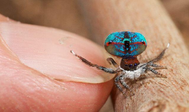 A aranha pavão é pequena em tamanho, mas grande em beleza.