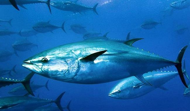 Atum-rabilho é o peixe mais caro do mundo