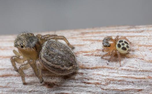 Aranha pavão fêmea com seu bebê