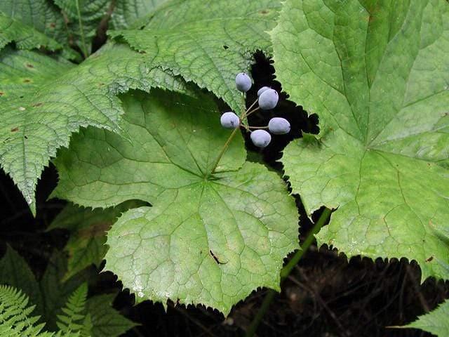 Após a floração, as flores se tornam pequenas frutinhas azuis.
