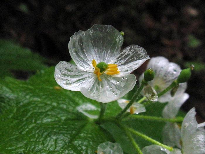 Conheça a Flor Que Fica Transparente Quando Chove